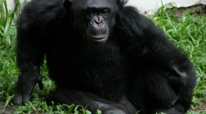 Réservoir urinaire version chimpanzé
